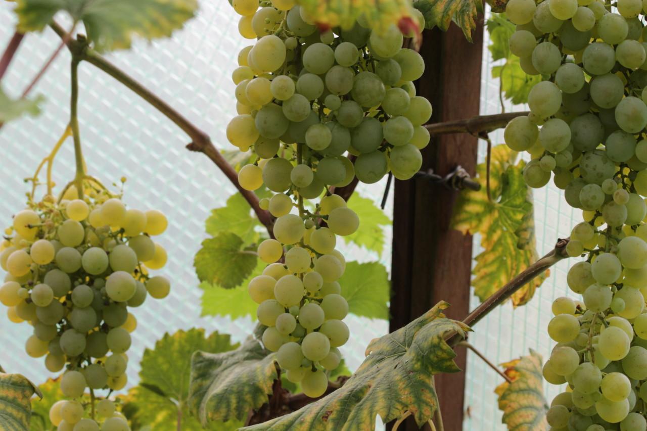 <b>Druiven uit de koude kas</b>